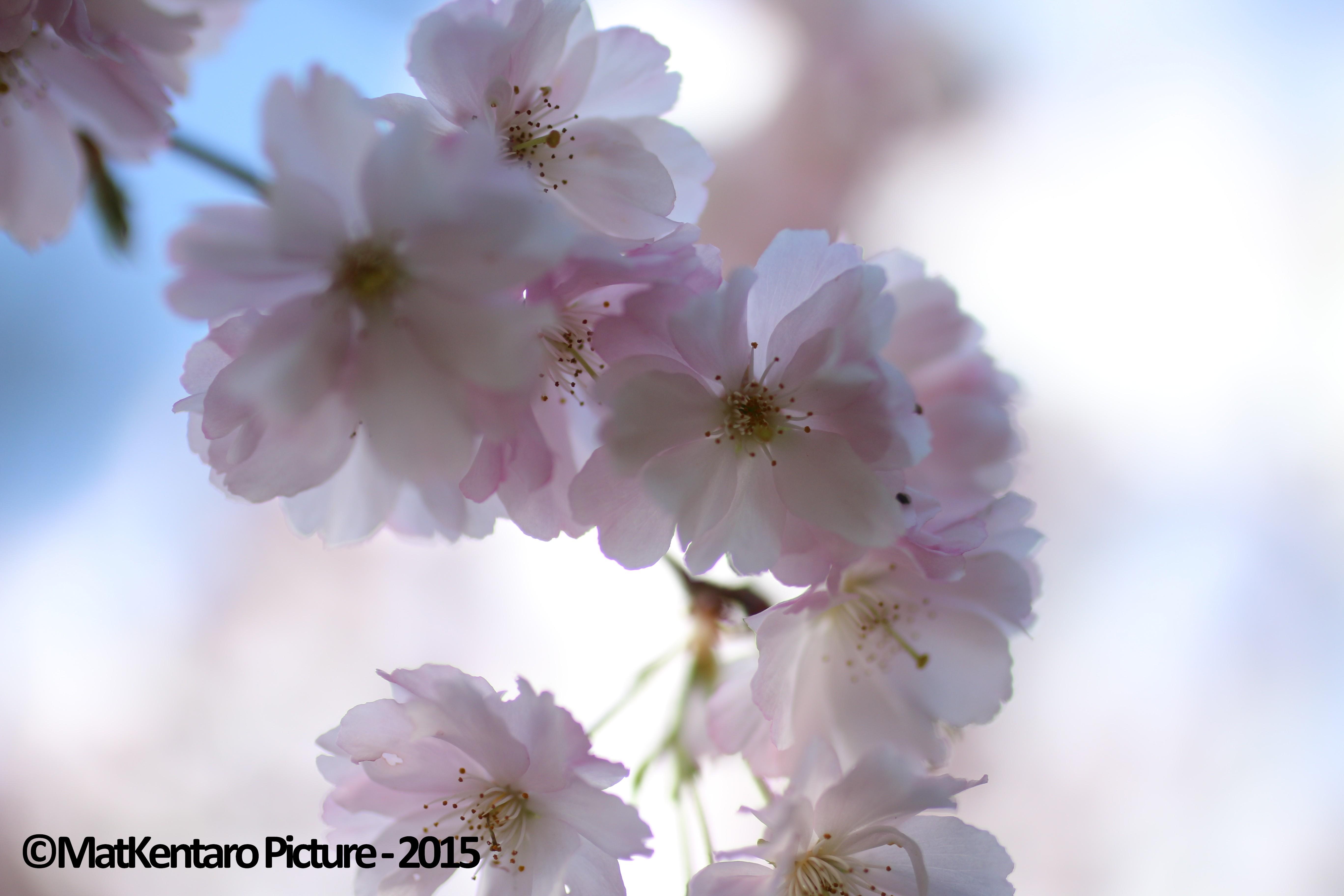 Prunus Européen - photo personnelle prise début avril 2015