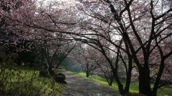 Hanami en toute simplicité au Parc Oriental de Maulévrier… [Avril 2016]