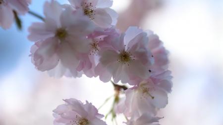 [MAJ] Hanami : Où admirer la floraison des sakura en France ?