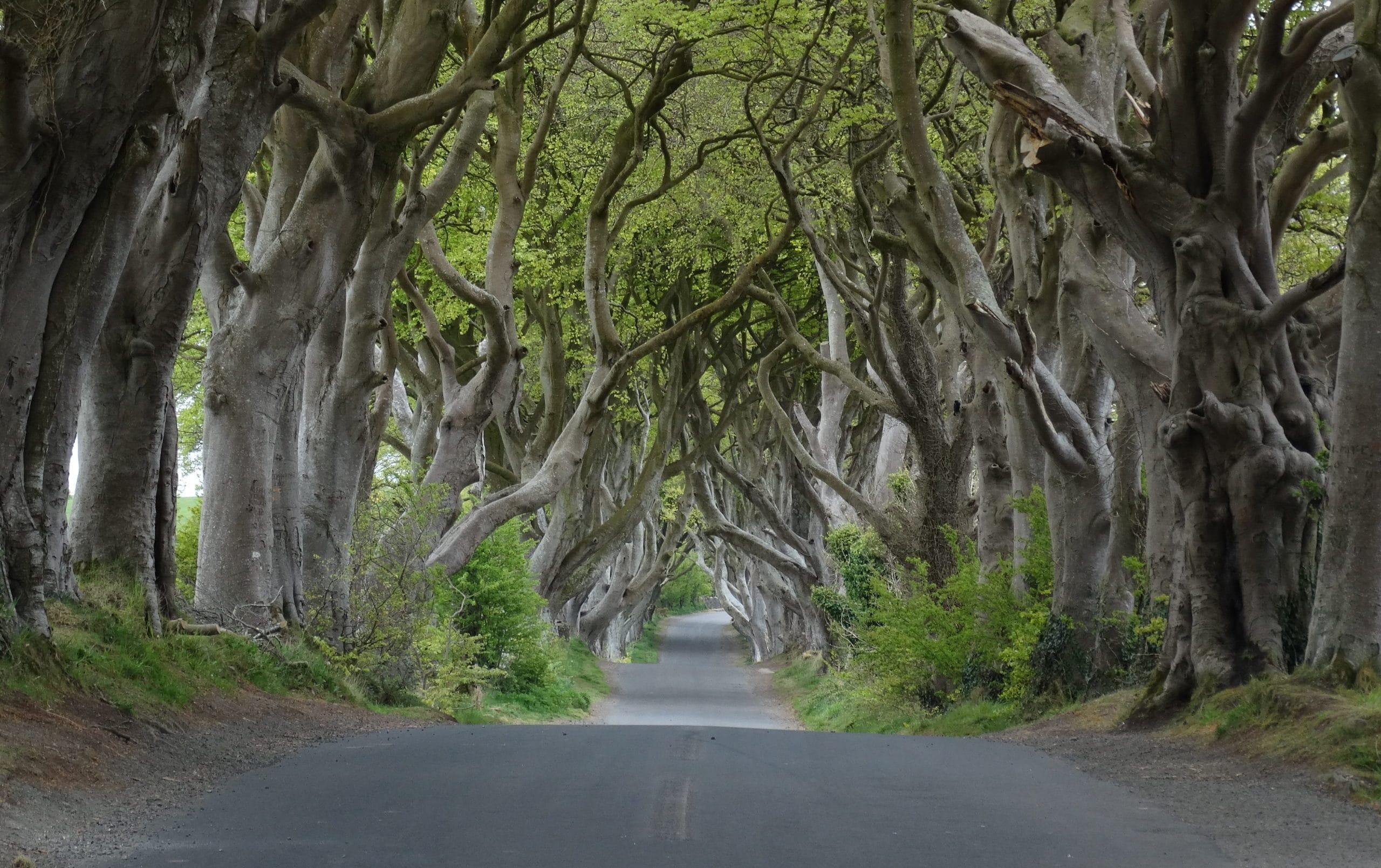 The Dark Hedges, dans le comté d'Antrim